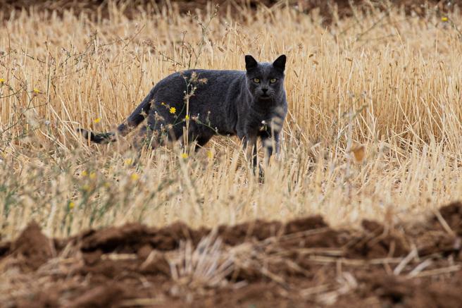 Imagen del gato negro fotografiado ayer en la zona