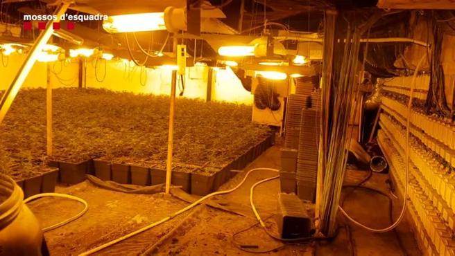 Plantación de marihuana de la banda albanesa desarticulada en Sant Cebrià de Vallalta