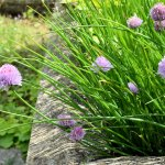 Chives and Chive Flowers