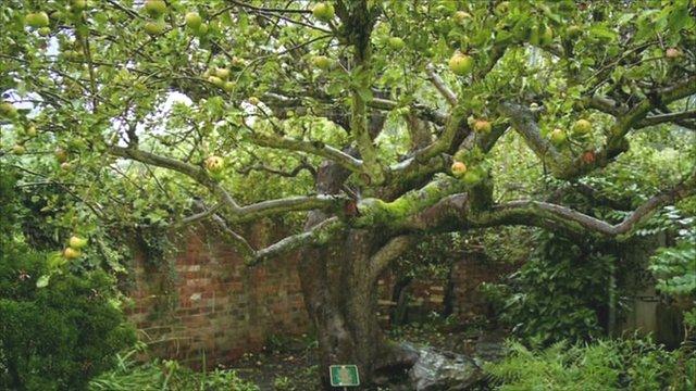 Original Bramley Apple Tree