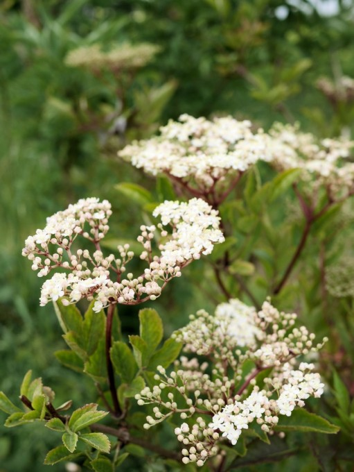 Pink Elderflowers