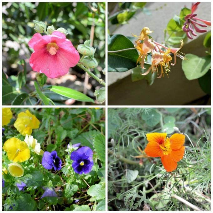 Edible flowers in my garden