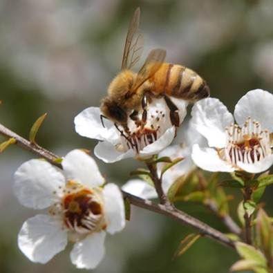 Bee on Manuka Bush