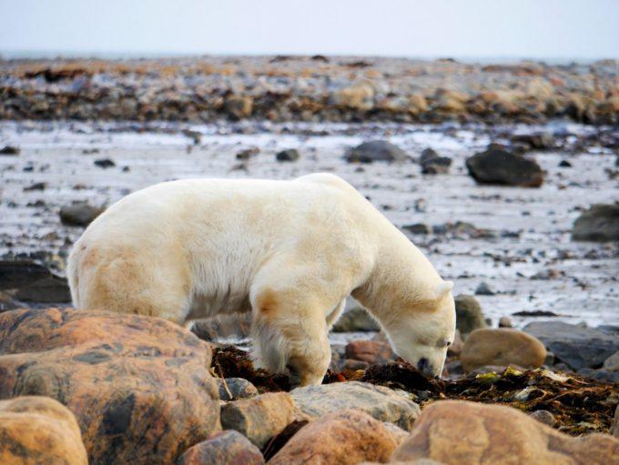 churchill-wild-walking-with-polar-bears-2