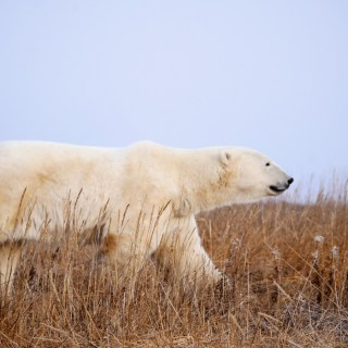 Churchill Wild Walking with Polar Bears