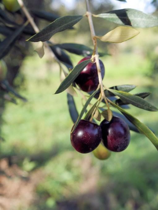 Provence Black Olives