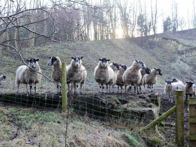 Wolds Sheep
