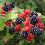 The Great British Blackberry Recipe Round-Up