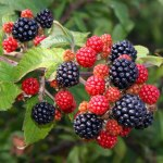 The Great British Blackberry Recipe Round-Up