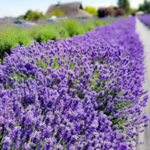 Growing Lavender in Cold Climates   Lavender Connection