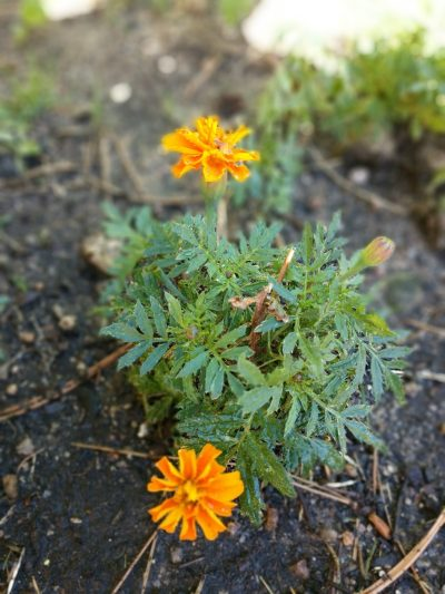 marigolds are beneficial to vegetable gardens