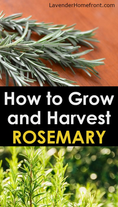 tips and tricks for growing the best rosemary