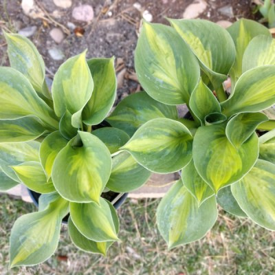 hostas to be planted in the garden