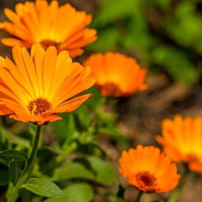 calendula flower in the vegetable garden