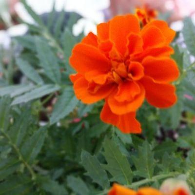 Marigold flowers in the vegetable garden
