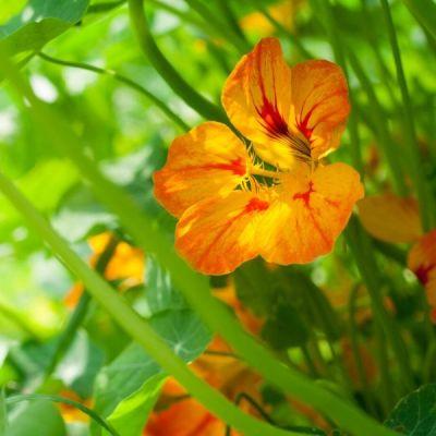 nasturtium flowers in the vegetable garden
