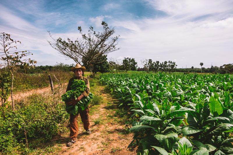 piantagione di tabacco a pinar del rio cuba
