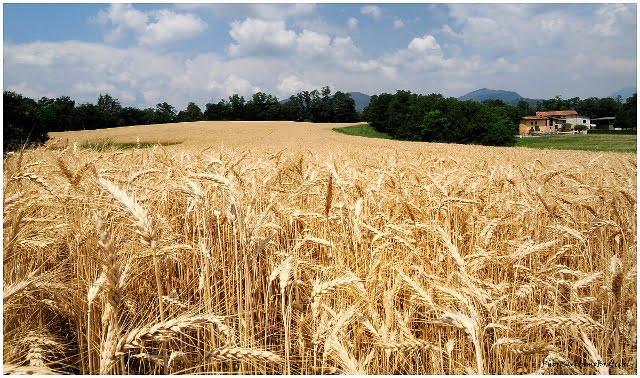 campo di grano (640x378) (2)