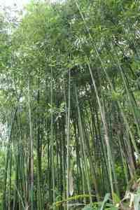 Phyllostachys bambusoides 'Violascens', el bambú sincrónico