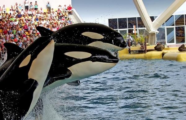 Aida seaworld dice adi s a la cr a de orcas en cautiverio for Cria de peces en cautiverio