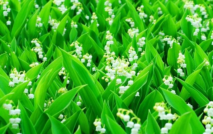 plantas de jardín lirio de los valles