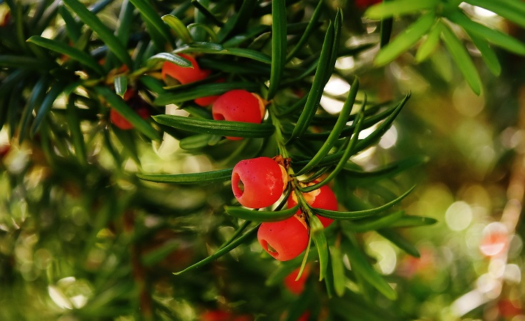 plantas de jardín tejo
