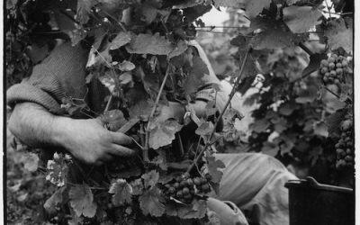 Vendanges en Beaujolais…