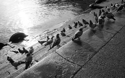 La Baignade des pigeons