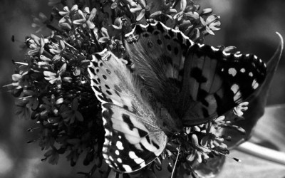 Papillon 2…