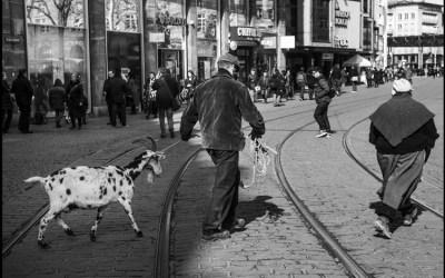 une chèvre au centre-ville