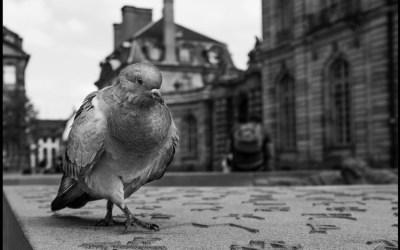 Le pigeon de la place du Château