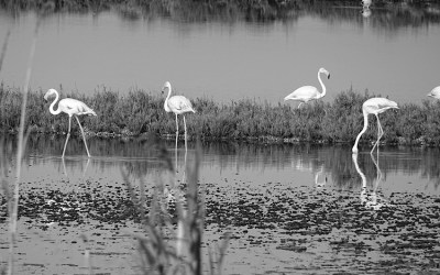 Flamingos in B&W