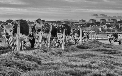 Vaches Normandes en Bretagne