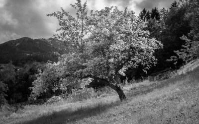 L'arbre qui dévalait la pente