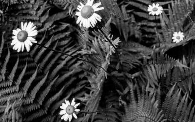 Fleurs de fougères.