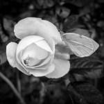 Jolie fleur de pa …