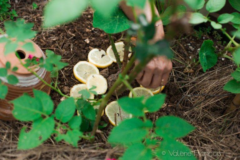 Véronique utilise les techniques de grand-mère comme les citrons qui font fuir les fourmis.