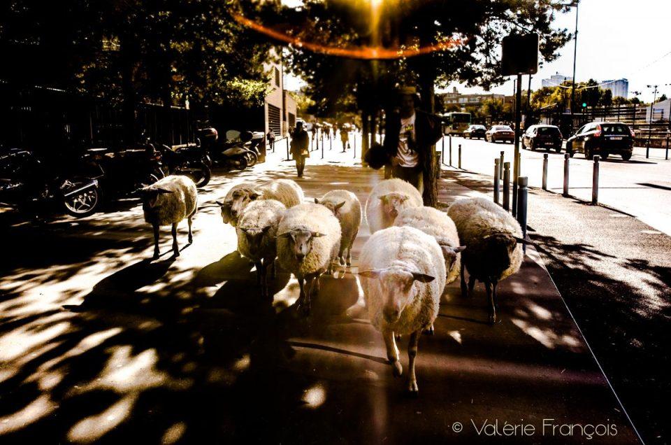 Bergers urbains: «nos moutons ralentissent la ville»