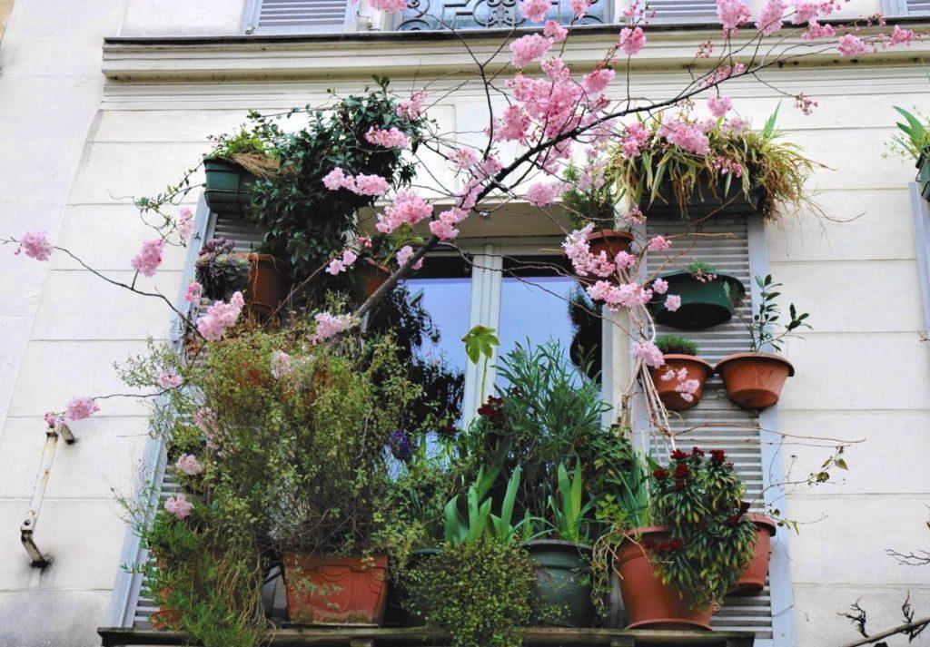 Sur le bord de ma fenêtre, j'ai un mimosa, un jasmin, un rosier, un laurier rose, un albizia, une bignone, une sauge, des iris hybrides, de la glycine…j'ai même mis un cerisier! Il fleurit tous les ans.