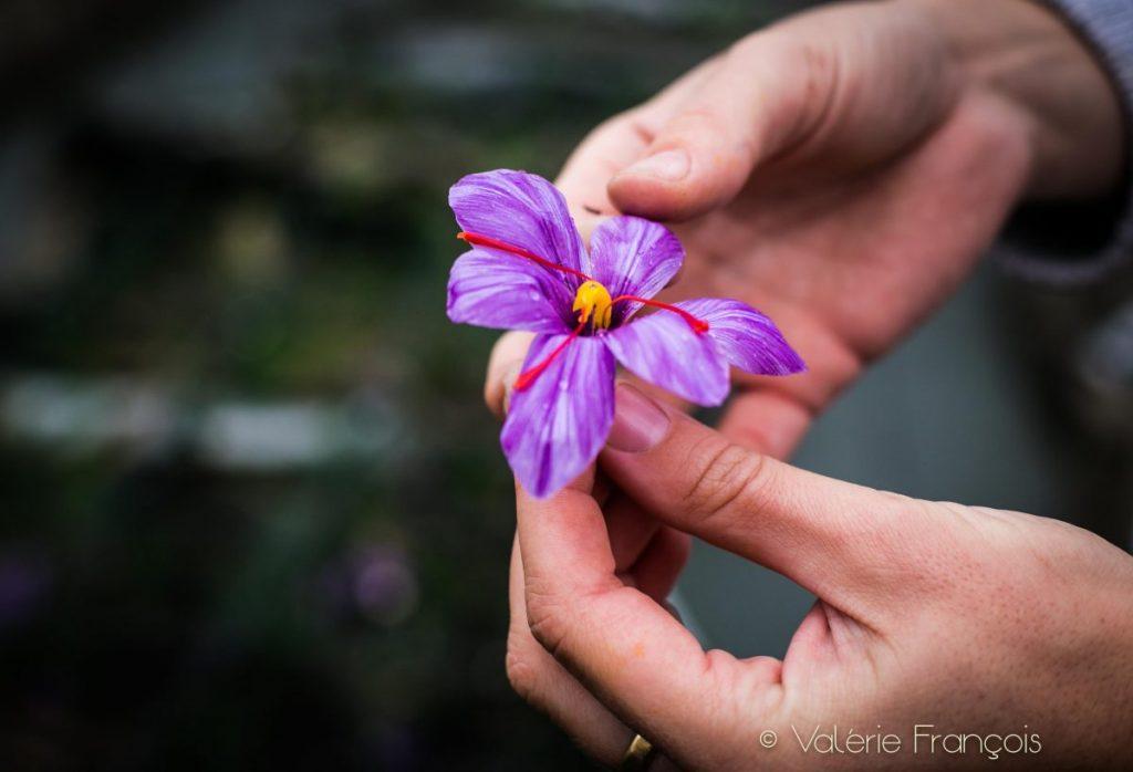 On prélève le pistil rouge de cette fleur et on le fait sécher pour obtenir une épice qui parfume merveilleusement les plats.