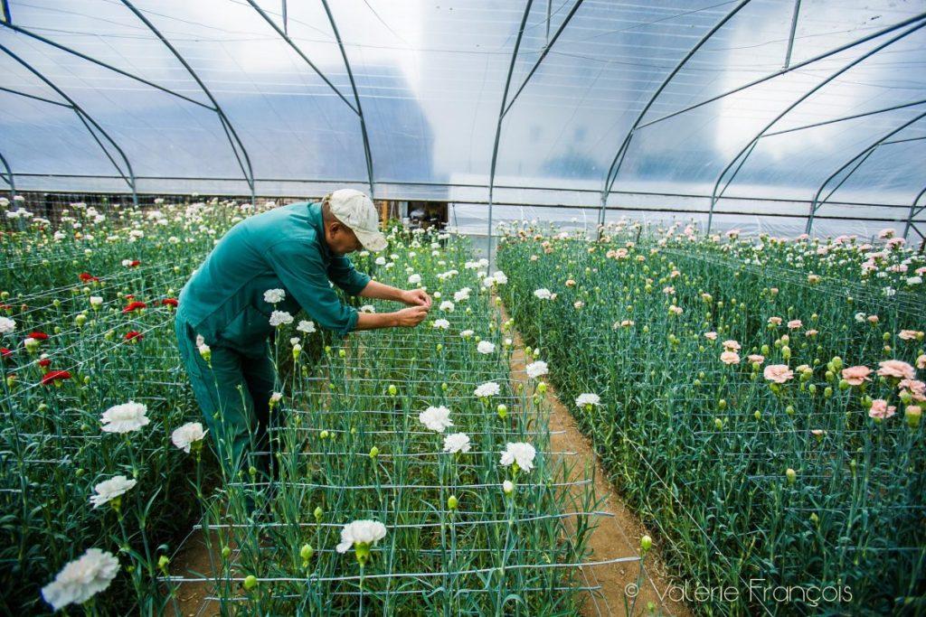 Tenzin, salarié d'origine tibétaine, travaille dans la serre où poussent des oeillets roses.
