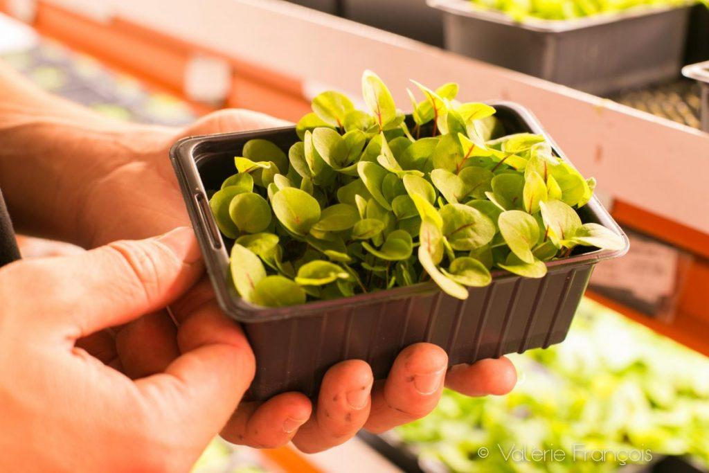 agriculture urbaine : micro-pousses