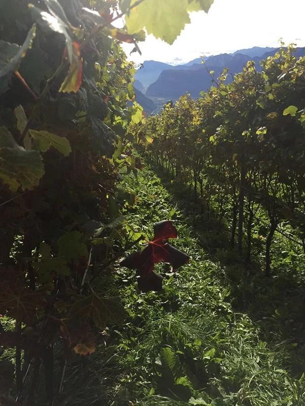 vigneto in Alto Adige