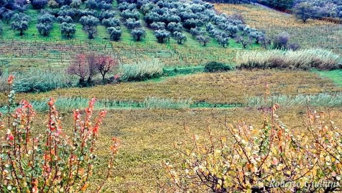 vigneti, uliveti e altre colture presso L'Olivella