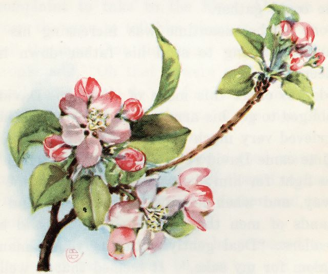 Apple blossoms Song of Solomon 2:3