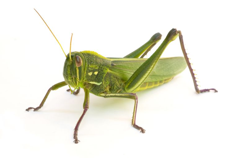 Grasshopper with long external legs