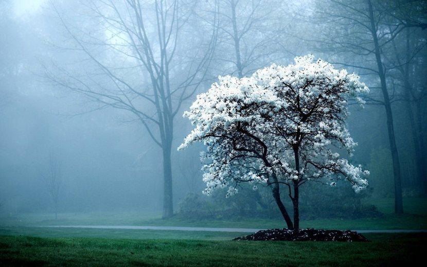 giappone-splendido-albero-di-ciliegio