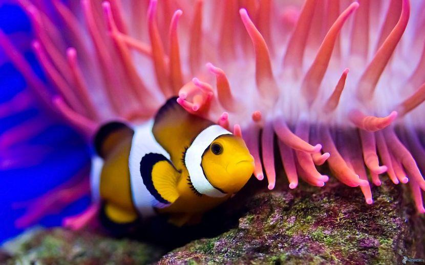 pesce-pagliaccio-anemoni-di-mare-161802