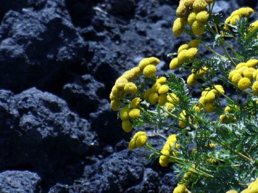 ginestra-e-lava-vulcanica-d87a6991-a3ce-475a-a835-14f2c93b52e5
