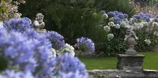 Alassio, agapanti in fiore a Villa della Pergola